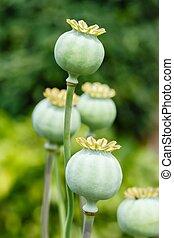 Poppy seed pods - Macro of green poppy (Papaveraceae) seed...