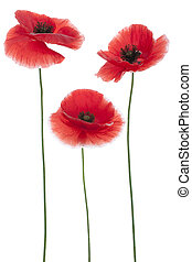 poppy - Studio Shot of Red Colored Poppies Isolated on White...