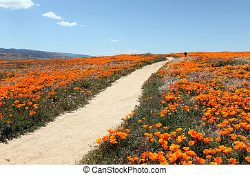 Poppy Trail - A peaceful path through a field of wild...