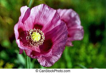 Poppy under the Sun