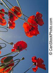wildflowers bottom view - poppy wildflowers bottom view