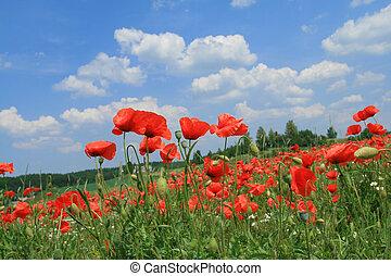 Poppyseed and chamomile fields. Early summer in Jura Krakowsko-Czestochowska, Poland.