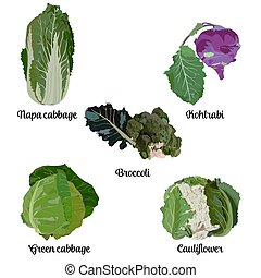 Popular cabbage types set, vector isolated illustration