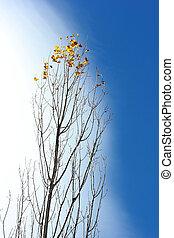 populier, bomen, herfst
