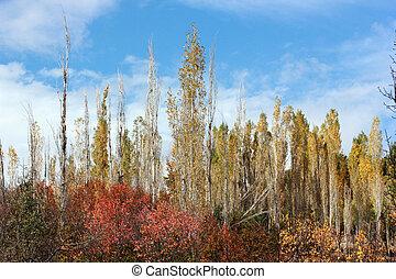 populier, bomen, in, herfst