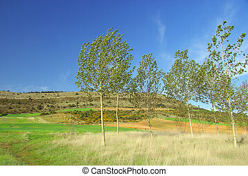 populus forest 04