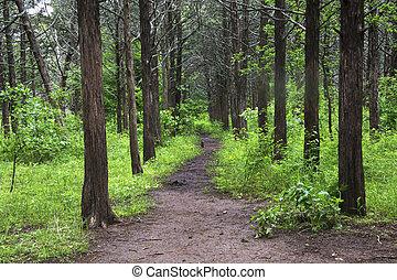 por, understory, árboles, camino, alto