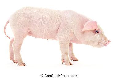 porca, branco
