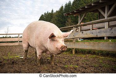porca, ligado, um, fazenda