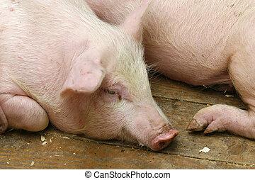 porca, suina, animal doméstico, agricultura