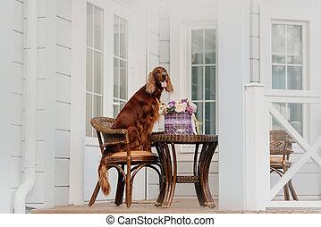 porche, setter, heureux, fleurs, panier, poser, chien, irlandais