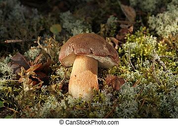 Porcini Mushroom in natural enviroment