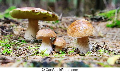Porcini mushroom in the autumn forest. - Boletus edulis is...