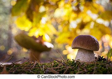 porcini mushrooms in sunny forest
