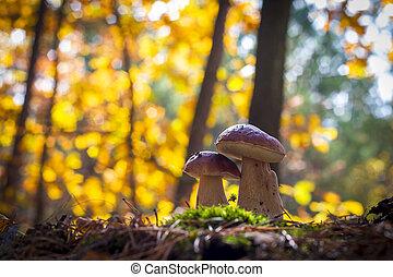porcini mushrooms pair in forest
