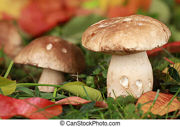 Two porcini mushrooms in a forest in autumn