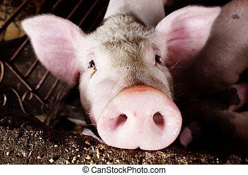 porco côr-de-rosa
