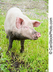 porco doméstico