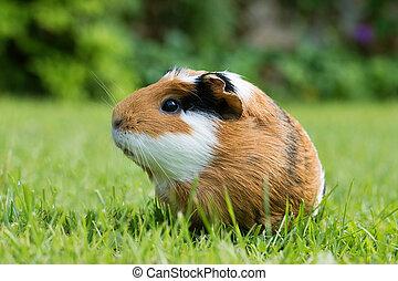 porco guinea, (cavia, porcellus)