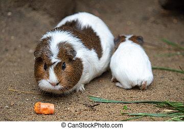 porco guinea, come, cenoura, (cavia, aperea, f., porcellus)