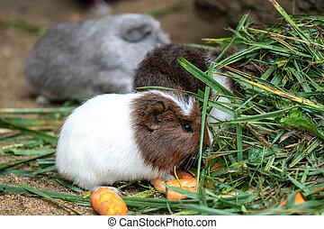 porco guinea, come, cenoura, cavia, aperea, f., porcellus, .