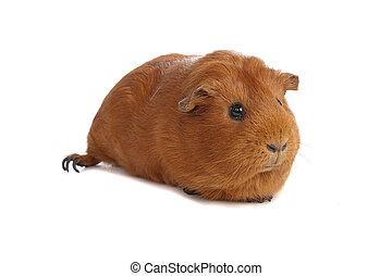 porco guinea