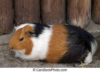 porco guinea, (lat., cavia, apera, f., porcellus)