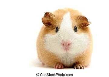 porco guinea, sobre, branca