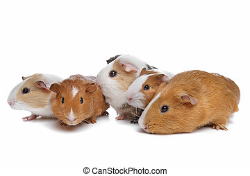 porcos guinea, cinco