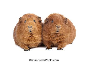 porcos guinea