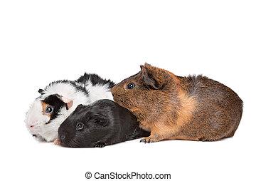 porcos guinea, três