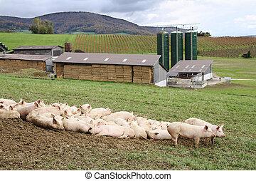 porcos, ligado, um, fazenda
