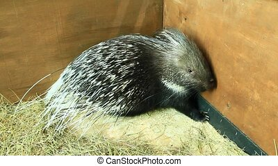 Porcupine covered by sharp spines. Rodent porcupine in zoo -...
