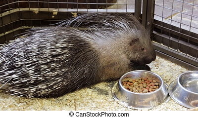 Porcupine in a cage