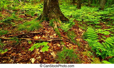 Porcupine Mountains State Park - Northwoods forest landscape...