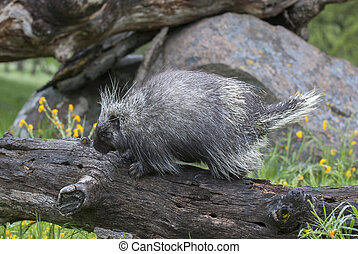 Porcupine eating in tall grass and yellow flowers porcupine on dead log with yellow flowers and grass in spring mightylinksfo