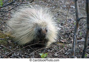 Porcupine - A porcupine rests on the edge of a clearing