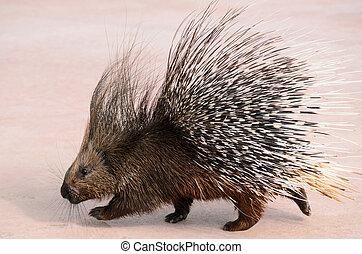 porcupine walking