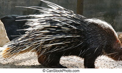 Porcupine with long needles walks around the aviary in the...