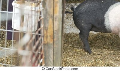 Pork Ecological Feed - Pig is fed with organic bio food in a...
