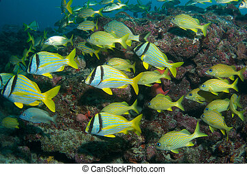 Porkfish and French Grunts on a reef ledge in south east...