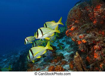 porkfish, cozumel, escuela, -
