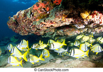 Porkfish School under a reef ledge.