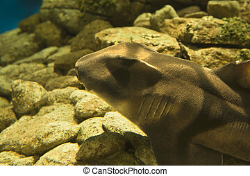 Port Jackson Shark in the Oceanarium in Lisbon, Portugal