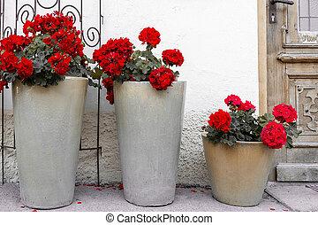 porta, potes, cerâmico, house., alto, geraniums, levantar, frente, vermelho