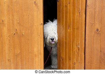 porta, tímido, cão, atrás de, madeira, curioso, escondendo