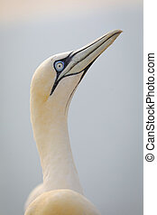 Portait adult northern gannet in wild nature