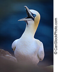Portait adult northern gannet with open beak on the rock