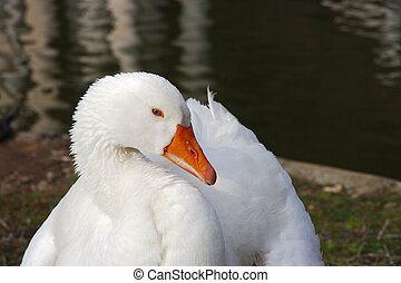 portait of a white goose whith blue eyes
