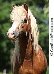 Portait of welsh mountain pony stallion on pasturage -...